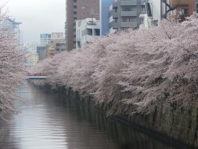 雨の中、目黒川の桜を見る