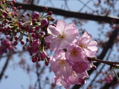 思川桜と小山評定の地を訪ねて小山まち歩き2017