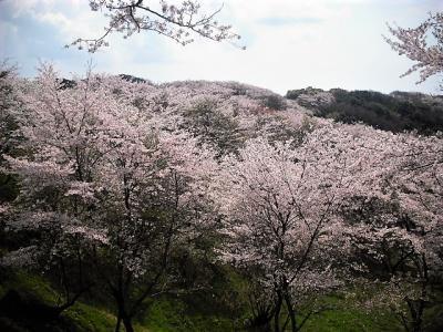 2017年4月 山陽小野田市 竜王山公園で花見をしました。