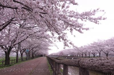 ☆ さくらネックレス 2017 須ヶ谷川桜堤 <愛知県>