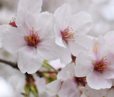 小田原厚木道路 ☆ 平塚PAの桜がいい感じ