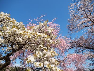 名古屋市東谷山フルーツパークの満開の枝垂れ桜 バゲットラビットのパンとa little+bagelのベーグル シャンパンブランチでシャンパンランチを楽しもう