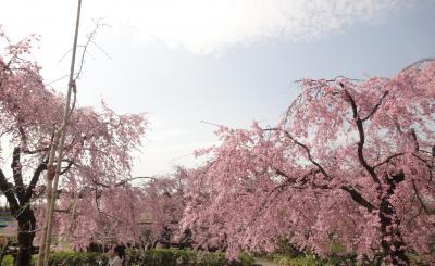 雨あがる、枝垂桜と東谷山フルーツパーク