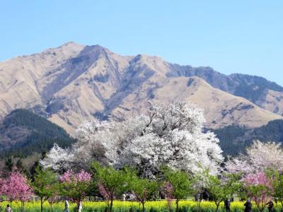熊本県南阿蘇村 一心行の大桜