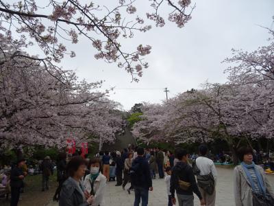 福岡 西公園の桜 満開の桜の木の下で ゆっくりお花見を致しました~