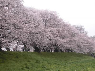 「石清水八幡宮参拝と背割り堤のお花見」