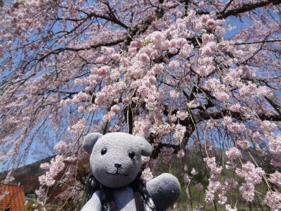 山口市阿東のしだれ桜ドライブ(船方農場付き)