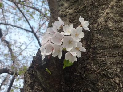 京都の淀、桜巡り。