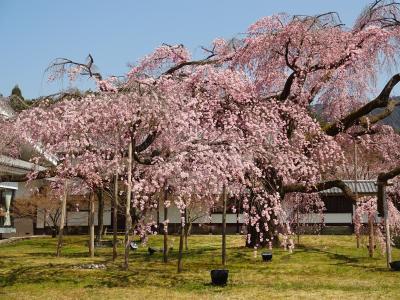 古都桜めぐり