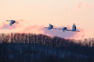 JALの「どこかにマイル」で丹頂鶴を見に鶴居村へ♪
