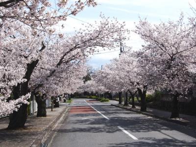 <埼玉・秩父満開の桜巡り・2>さくら名所100選・町全体が桜色!「満開2.5キロの桜トンネル」