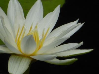 春爛漫の「川口グリーンセンター」♪ Vol.3 温室のラン・ツバキ・スイレンが美しい♪