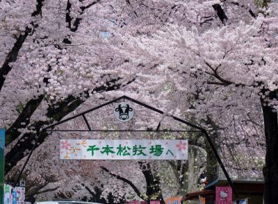 桜を求めて⑤~千本松牧場と烏ケ森の桜が見頃になりました。追加編