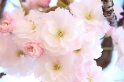 新宿御苑の桜ウォッチング:桜吹雪と八重桜を楽しむ