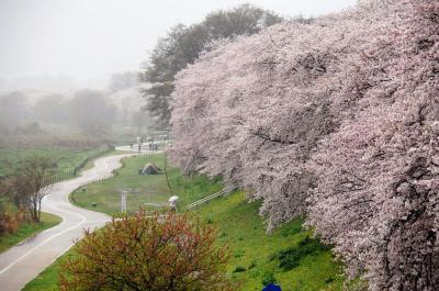 八幡桜風情3~八幡背割堤の桜並木(今年は満開中好天に恵まれず雨天訪問)