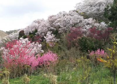 福島のさくら・・「福島に桃源郷あり」、花見山公園をめぐります。