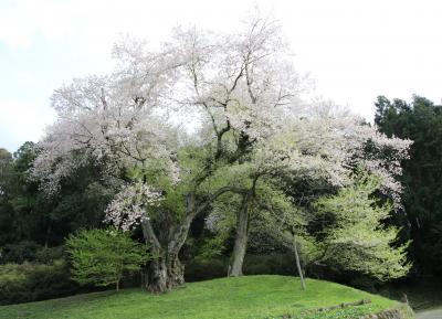 阿波徳島の一本桜樹齢400年吉良の江戸彼岸桜と初逢瀬と雨乞いの瀧初訪問