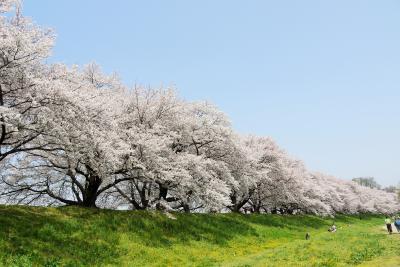 満開の桜のトンネル 「背割堤の桜」