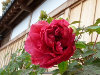 恩林寺のボタン_2017(1)_3輪咲きました。(群馬県・邑楽町)