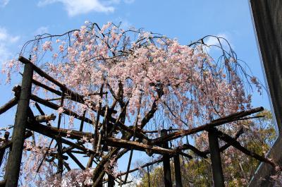 八幡桜風情8~八幡石清水八幡宮の枝垂れ桜