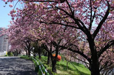 観光地でも公園でもありません  赤羽台団地の道に咲く八重桜の華やかさ
