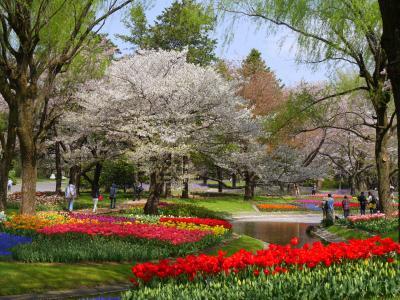今年も桜が舞い散る昭和記念公園ファン倶楽部チューリップオフ会(2017年)