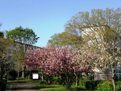 久喜市上内の自前の早朝ウォーキングコースで見られる自然の営みを・・・④八重桜・ハナミズキの開花と季節は進みます