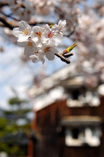八幡桜だより~桜満開のさざなみ公園・府道の一本桜と安居橋編