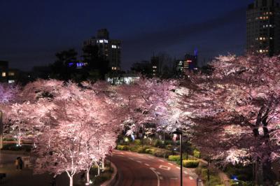 六本木で夜桜を愛でる 2017年4月