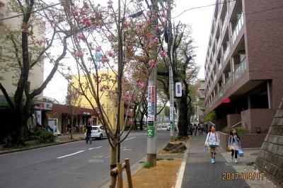 たまプラーザ駅前桜並木再生計画⑥ 2017年春の開花状況