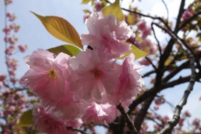 20170422-2 大阪 大阪城公園玉造口の八重桜