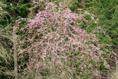 2017春、奈良県の桜巡り(2/10):4月15日(2):高見の郷(2/3):まだ蕾の枝垂れ桜、満開の連翹