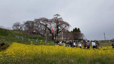 南東北バスツアー、三春滝桜は今年も残念でした。2か所目は白石川堤一目千本桜は満開。