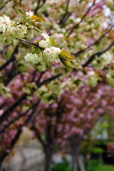 八幡桜風情9~大谷川上流・藤棚ロードのぼたん桜1