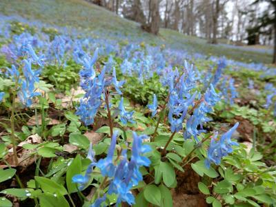 青紫色の花の絨毯を見に。~北海道芦別市旭ヶ丘公園~