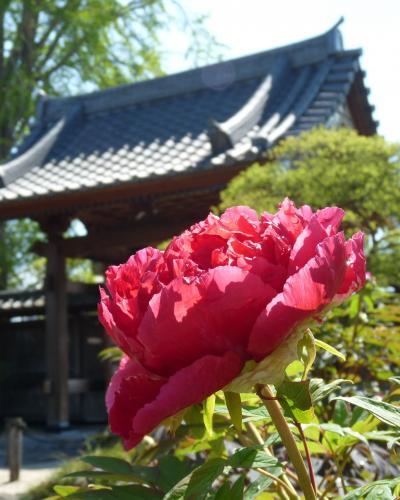 恩林寺のボタン_2017(2)_咲き揃ってきました。(群馬県・邑楽町)