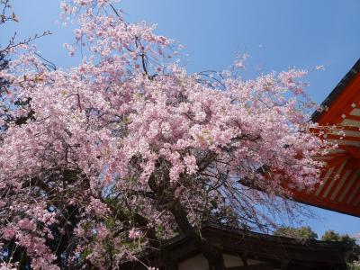 2017年4月 高尾山で花を愛でる