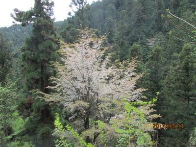 南高尾16キロの山桜。
