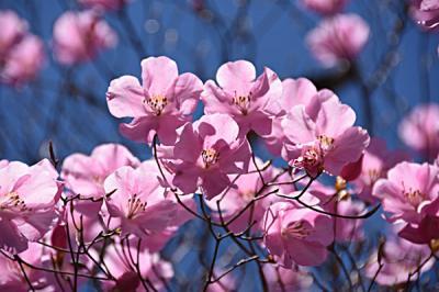 蕨山 春の花旅 アカヤシオ・ツツジ・スミレを愛でに