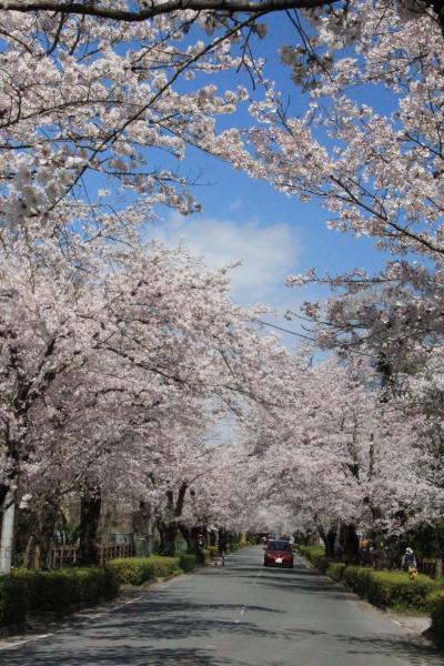 長瀞桜並木 満開の桜を満喫 通り抜けの桜はまだまだつぼみだったけど…