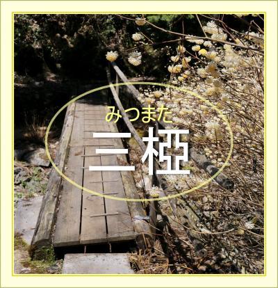 Solitary Journey[1896]和紙の原料である三椏の薄黄色い花が谷いっぱいに広がっていた♪<虫居谷のミツマタ群落>広島県向原町