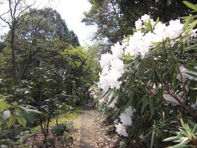 花みどり公園のシャクナゲが見頃です~