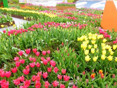 春の北陸 花と列車と海の景色を楽しむ旅(1日目 となみチューリップフェア、ラッピング列車)