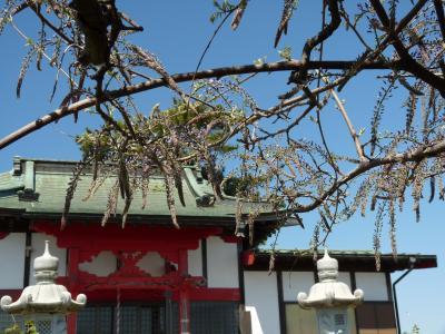 多々良沼公園の藤_2017_まだ咲き始めです。今年は遅い。(群馬県・邑楽町)