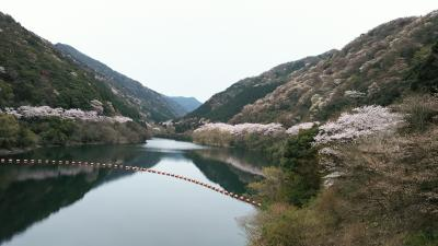 さくら満開~!!淡路島 諭鶴羽ダム公園(ゆづるはダムこうえん)