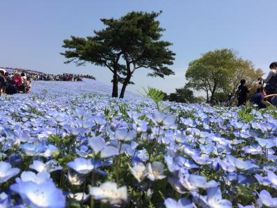 瑠璃色のじゅうたんが広がるネモフィラの丘に行ってきました