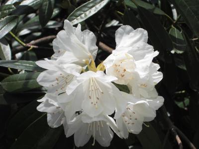 花をめでる~花みどり公園~シャクナゲ散歩