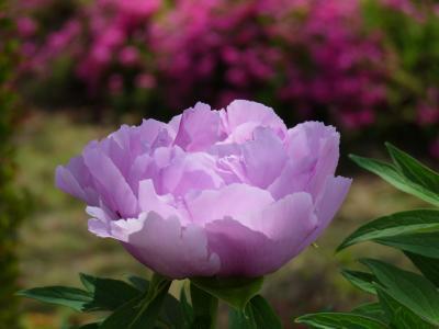 清浄院のボタン_2017_開花は4割程度ですが、綺麗です。(群馬県・板倉町)
