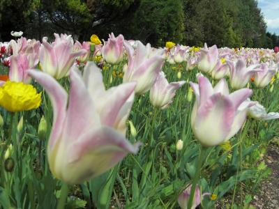 国営備北丘陵公園~チューリップの咲く公園へ♪2017母娘の春まつりの思い出~広島県庄原市