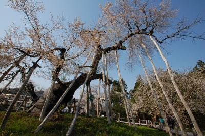 山形で桜巡り ~白鷹の釜ノ越桜・薬師桜と伊佐沢の久保桜~